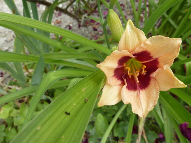 Hemerocallis - des variétés - Page 6 P1310712