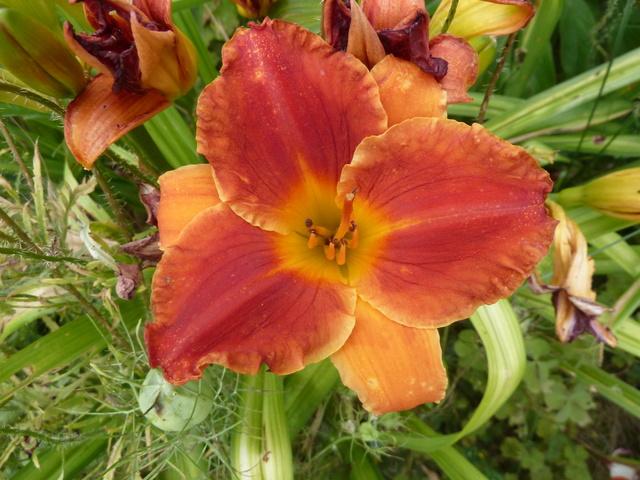 Hemerocallis - des variétés - Page 6 P1310810