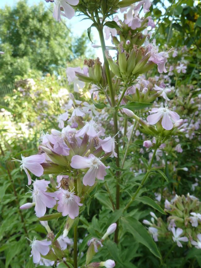 Saponaria officinalis [identification] P1320412