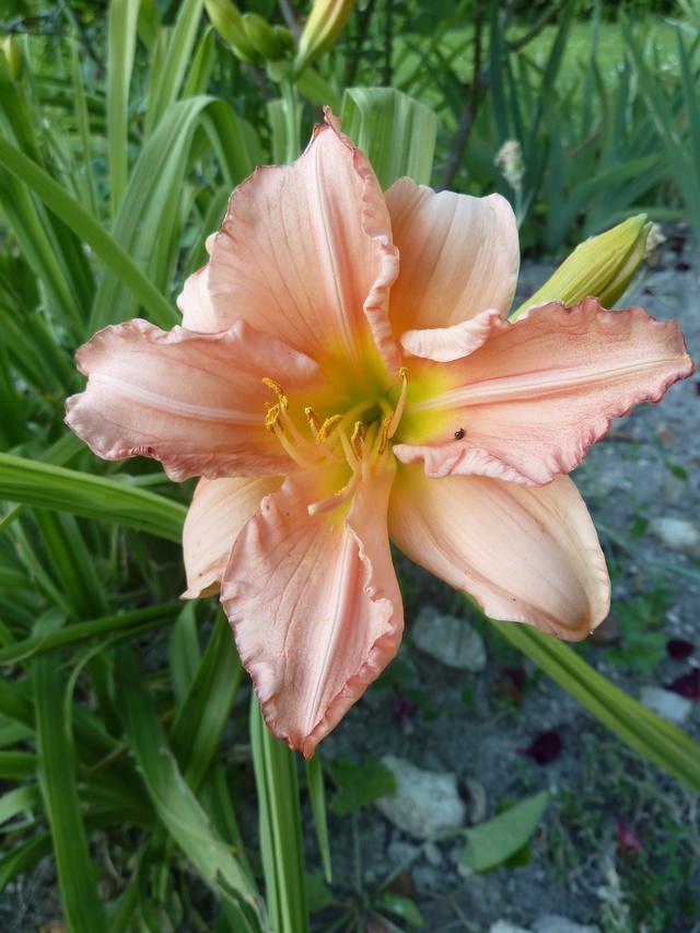 Hemerocallis - des variétés - Page 6 Siloam10