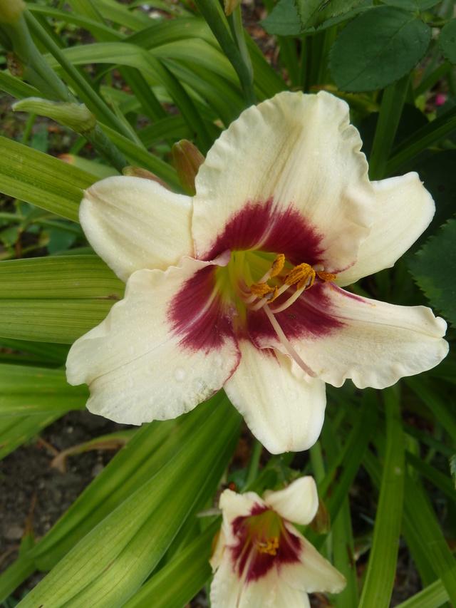 Hemerocallis - des variétés - Page 6 Siloam11