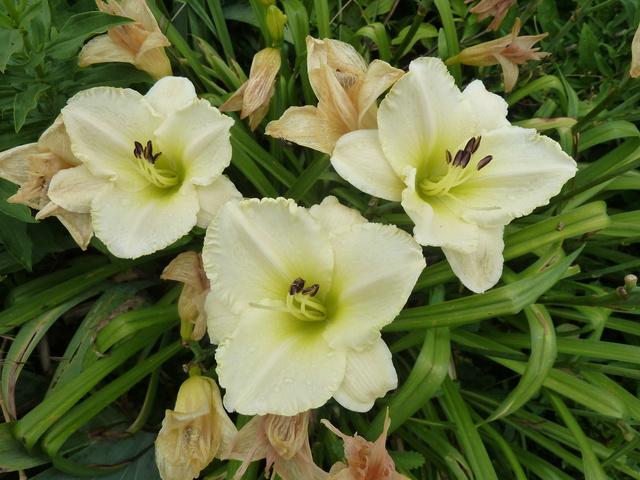 Hemerocallis - des variétés - Page 6 White_10