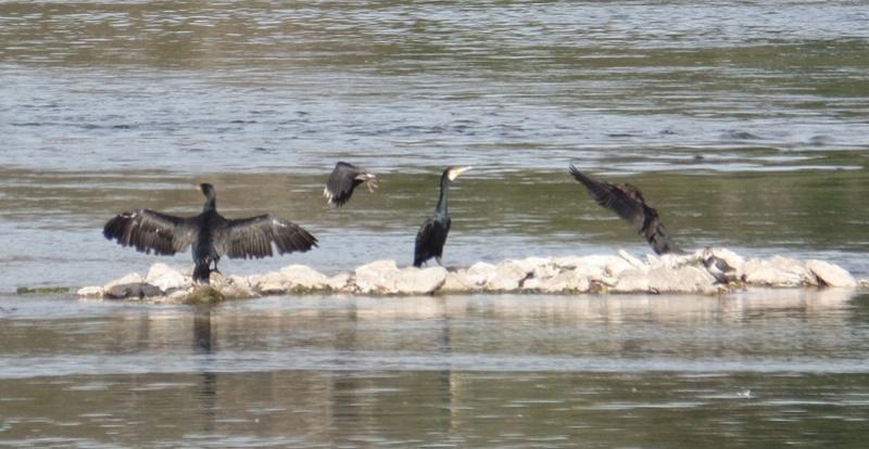Grand cormoran ? Cormor10