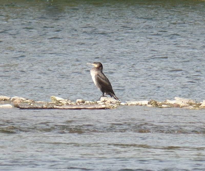 Grand cormoran ? Cormor12
