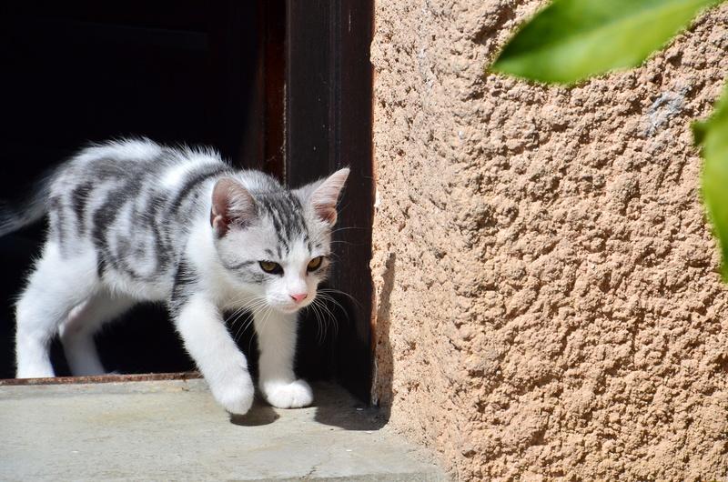 Noun - chaton gris et blanc - né en mai 2017 Dsc_0515