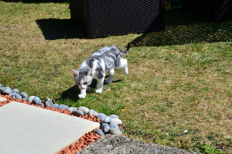 Noun - chaton gris et blanc - né en mai 2017 Dsc_0516