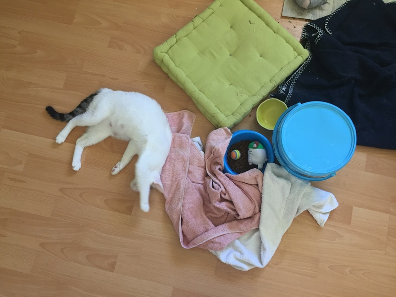lois - Loïs - chatte blanche et noire - née en mai 2016 Img_6912