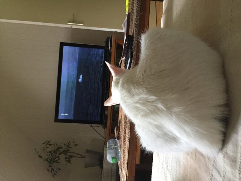 lois - Loïs - chatte blanche et noire - née en mai 2016 Img_7710