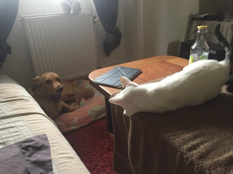 lois - Loïs - chatte blanche et noire - née en mai 2016 Img_7811