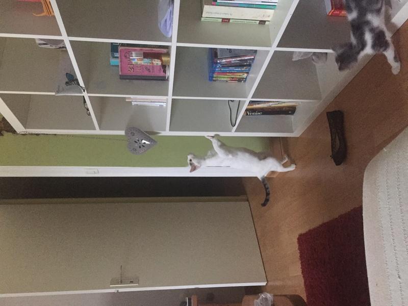 lois - Loïs - chatte blanche et noire - née en mai 2016 Img_7813