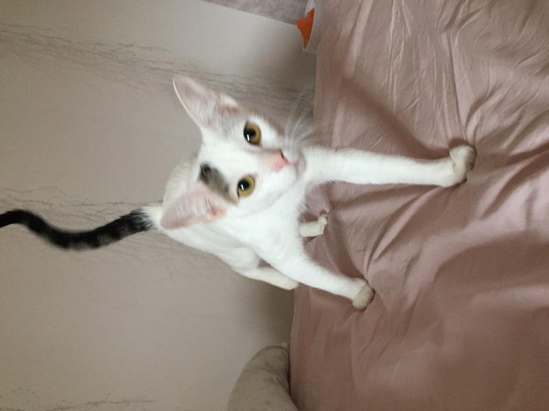 lois - Loïs - chatte blanche et noire - née en mai 2016 Img_7911