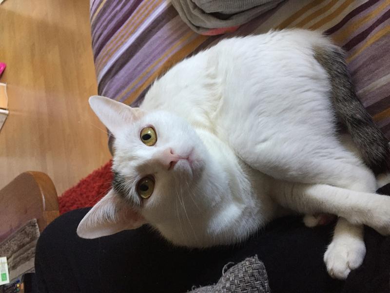 lois - Loïs - chatte blanche et noire - née en mai 2016 Img_8311