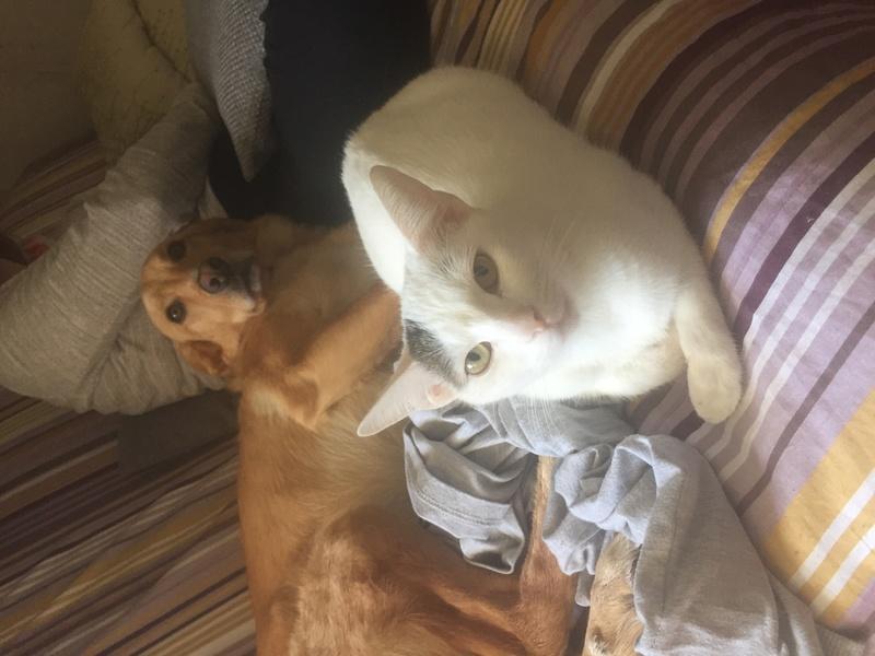 lois - Loïs - chatte blanche et noire - née en mai 2016 Img_8313