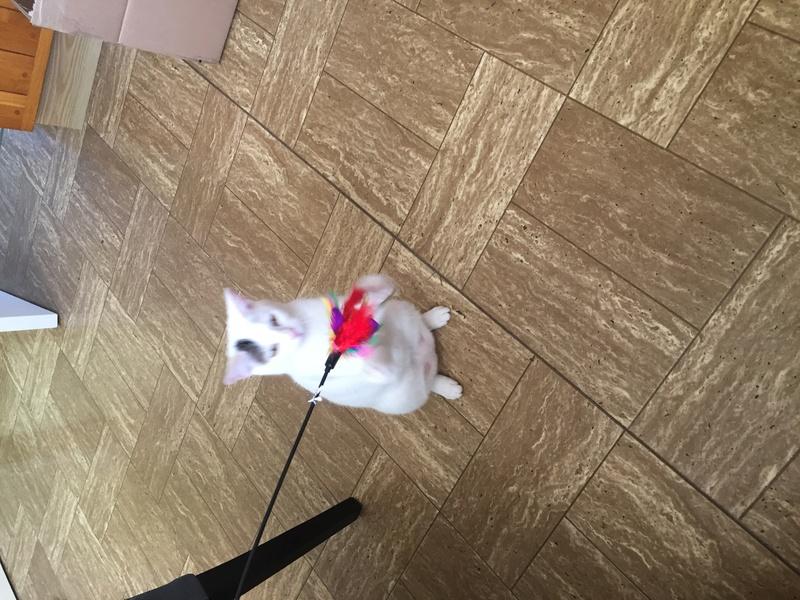 lois - Loïs - chatte blanche et noire - née en mai 2016 Img_8410
