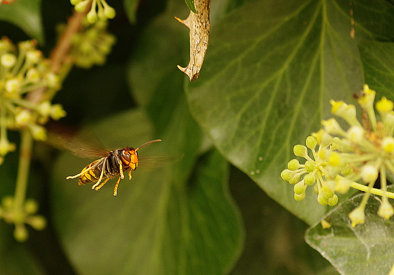 Frelon asiatique, la beauté du diable Imgp9813