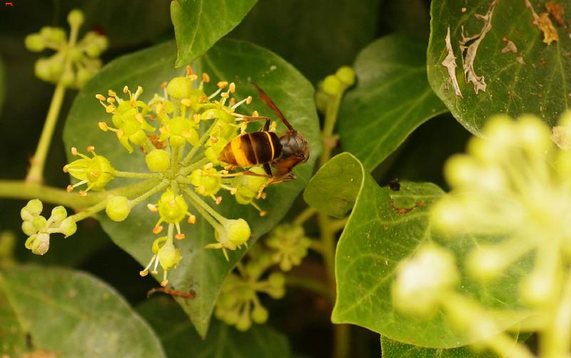 Frelon asiatique, la beauté du diable Imgp9816