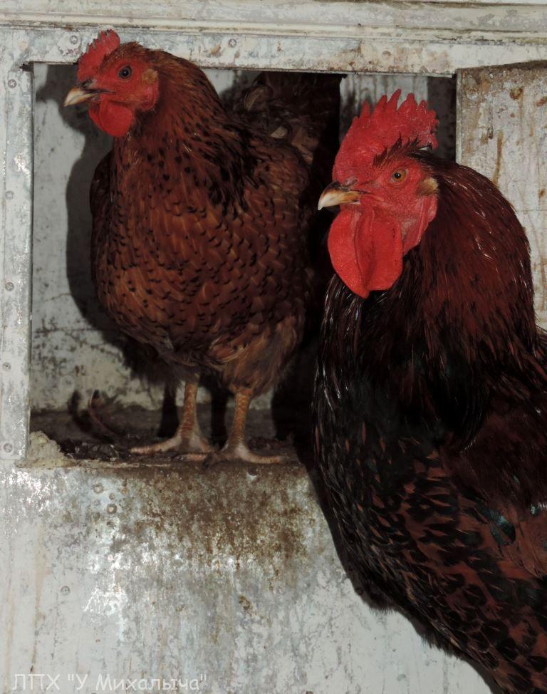 Кучинская порода кур - Страница 5 -0110-12
