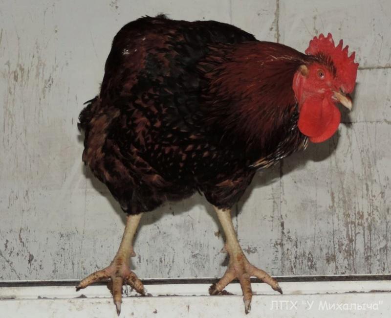 Кучинская порода кур - Страница 5 -0110-14