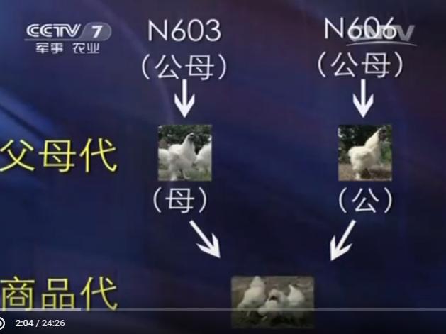 Китайские шелковые аборигены (乌鸡 Ву Цзи)  - Страница 18 0310