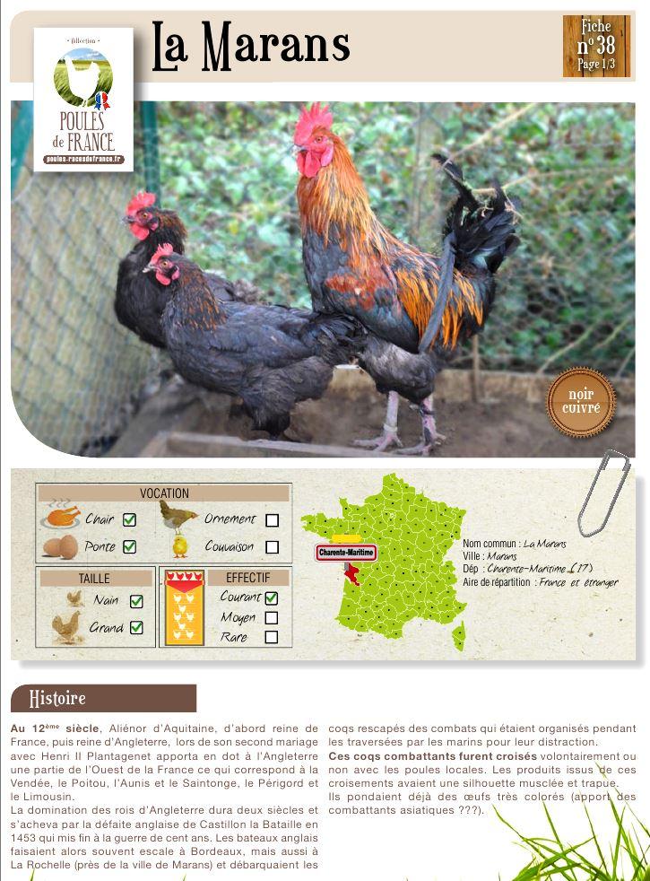 Мараны - порода кур, несущие пасхальные яйца - Страница 13 Image508