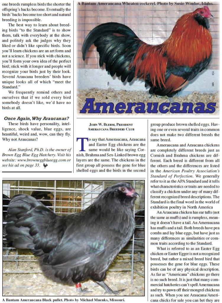 Амераукана, Ameraucana / Easter Egger Image516