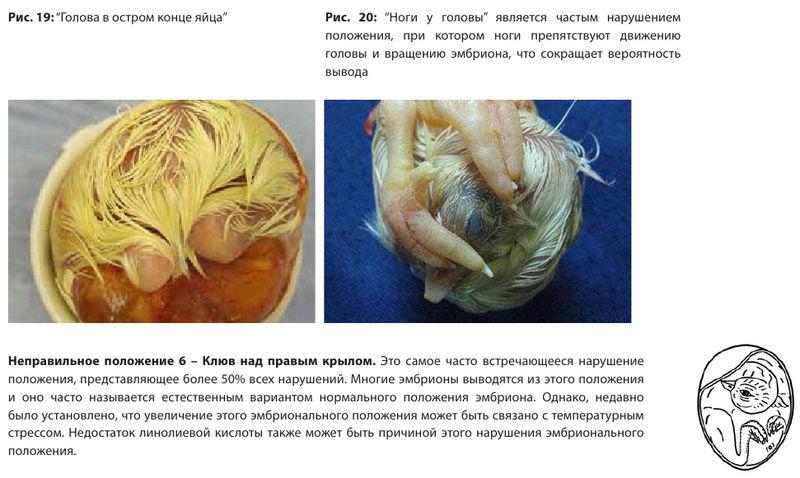 Анализ проблем выводимости яиц - Страница 5 Image557