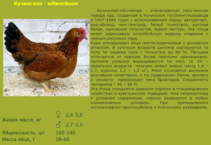 Кучинская порода кур - Страница 5 Image_47