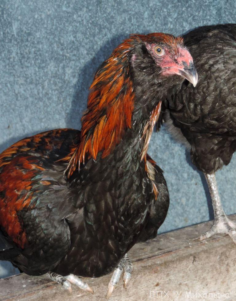 Гилянская порода кур, Gilan breed chickens Oaez-115