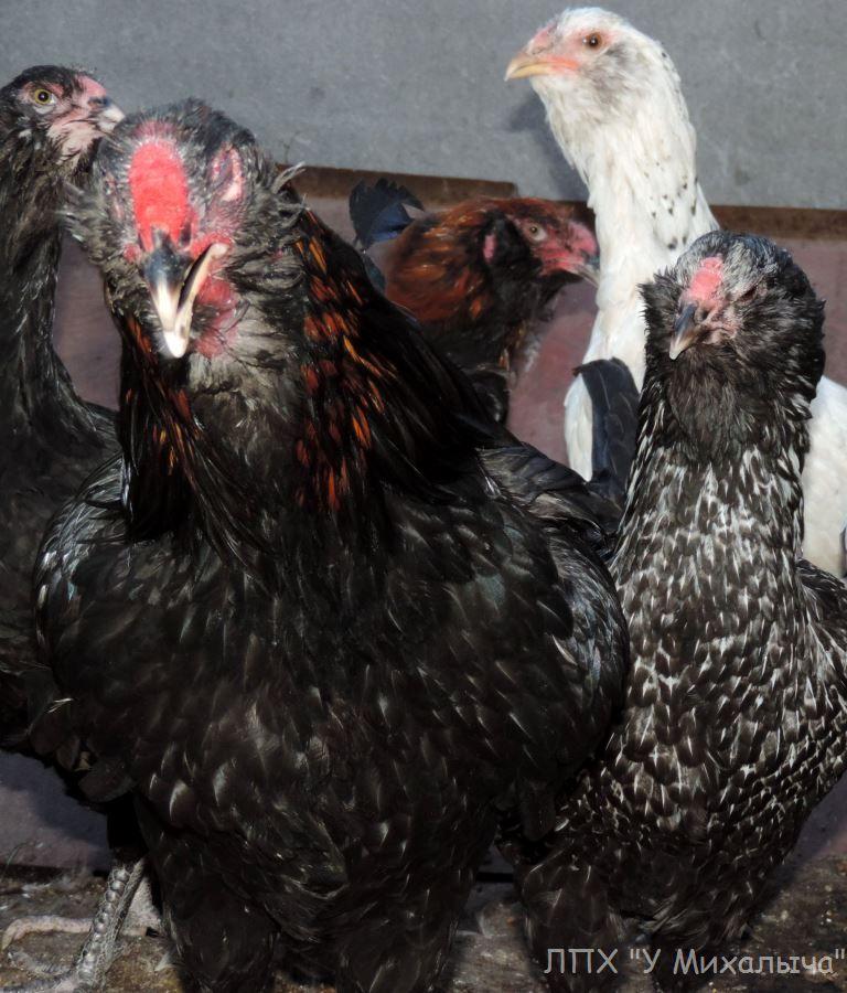 Гилянская порода кур, Gilan breed chickens Oaez-120