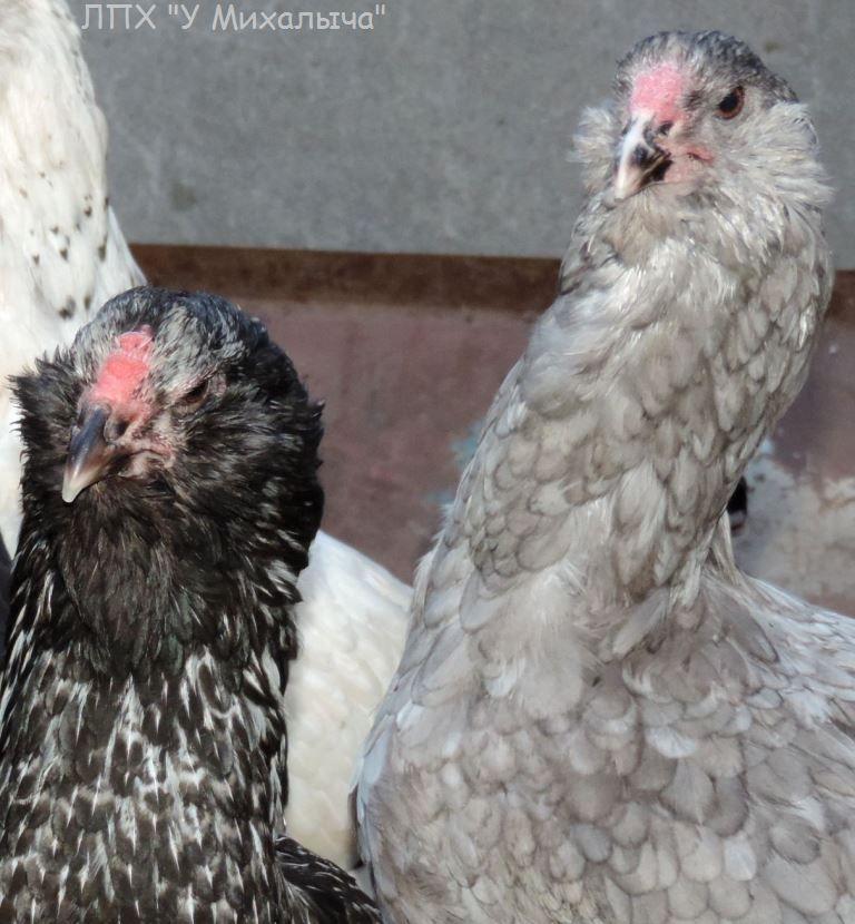 Гилянская порода кур, Gilan breed chickens Oaez-122