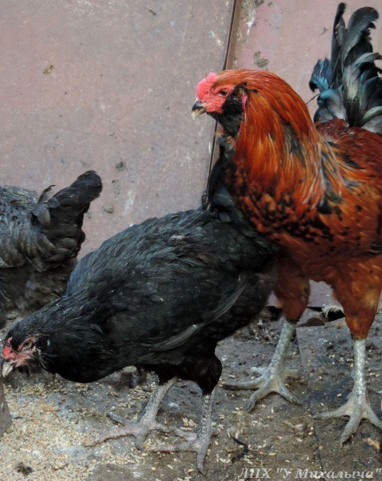 Гилянская порода кур, Gilan breed chickens Oaez-311