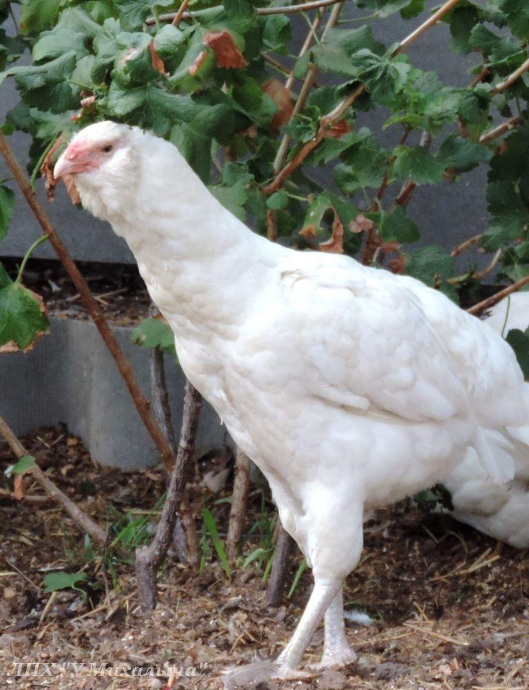 Гилянская порода кур, Gilan breed chickens Oaez-313