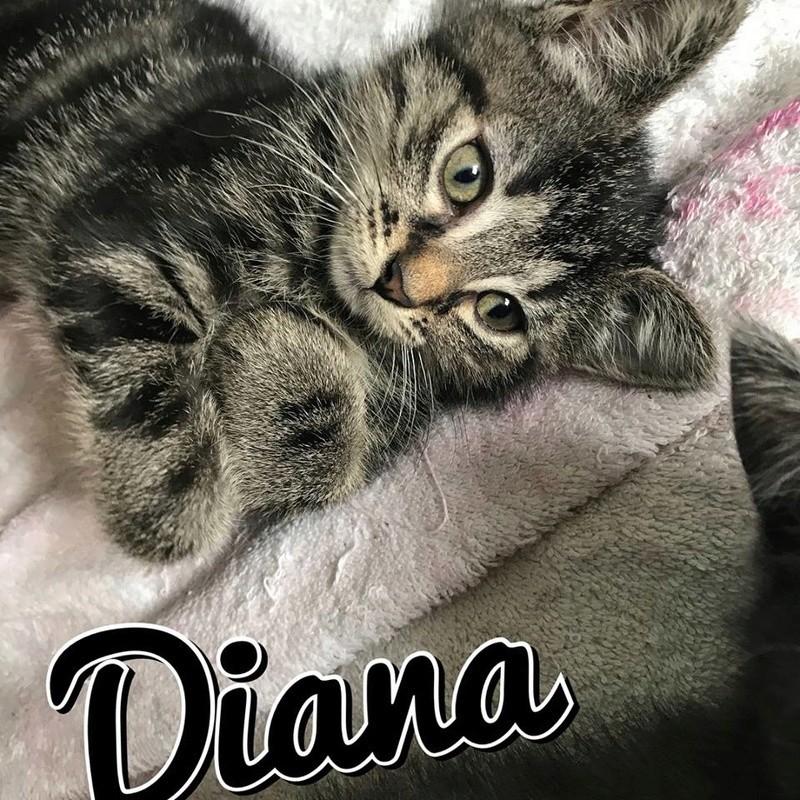 Diana, petite femelle grise tigrée, Née le 1er Mai 2017 20294310