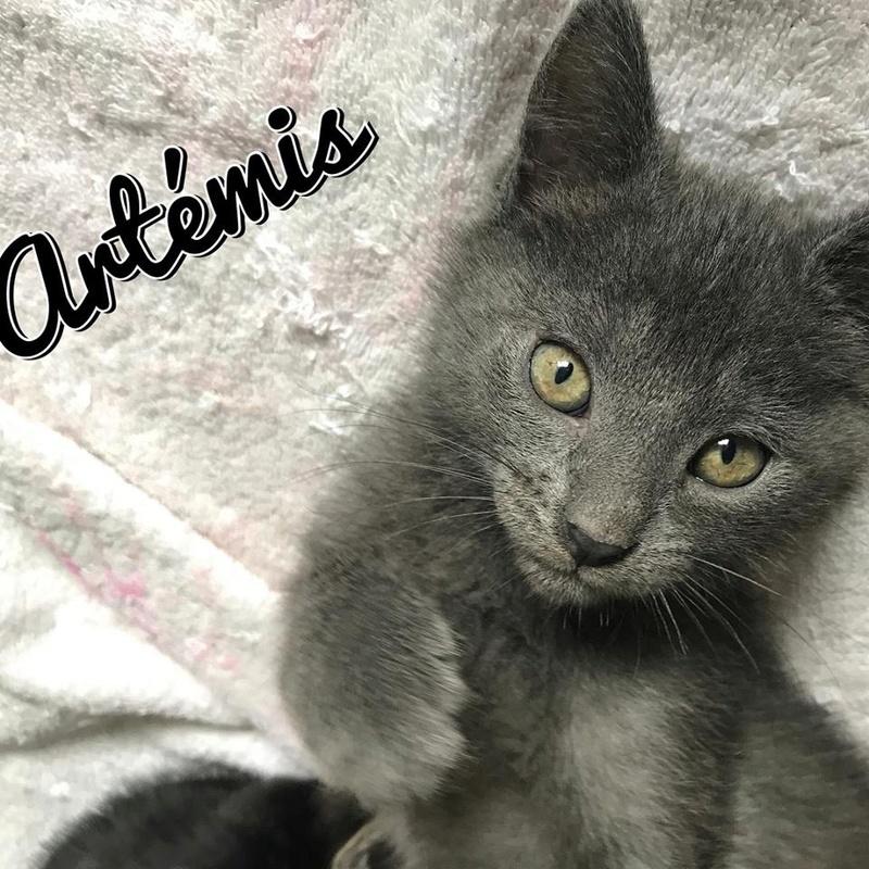 Artémis, chaton gris type européen, Né le 1er Mai 2017 20431610