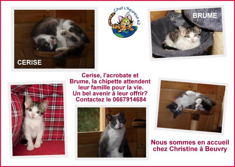 CERISE, chatte grise et blanche Cerise10