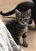 Nina, chatonne tigrée intrépide née le 10 mai 2017 Img_2313