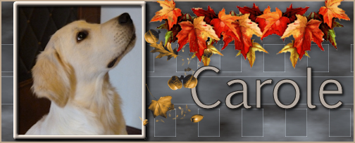 golden - Le golden retriever. Carole10