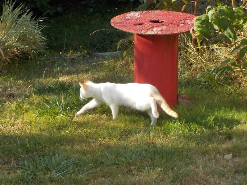 NORMAN, chaton européen blanc&roux, yeux bleux, né le 19/05/17 00210