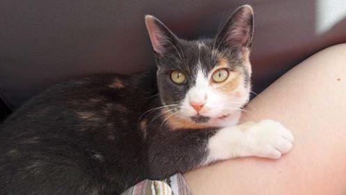 lisbeth - LISBETH, chatte européenne tricolore, née en 2015. 20271910