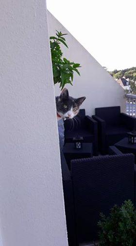 lisbeth - LISBETH, chatte européenne tricolore, née en 2015. 20289610