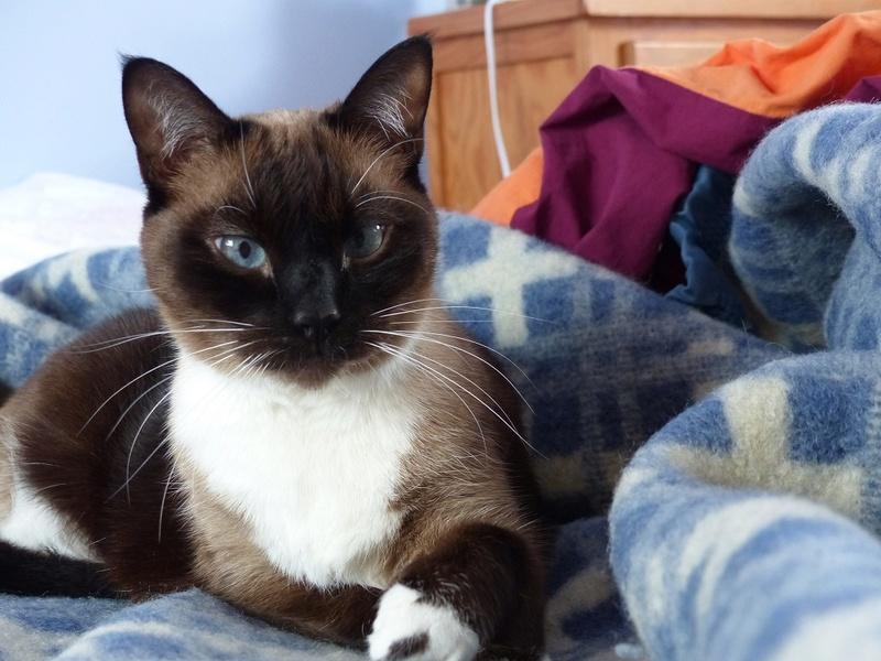 FLORETTE, chat de maison couleur chocolat,  née le 19 avril 2010. Floret10