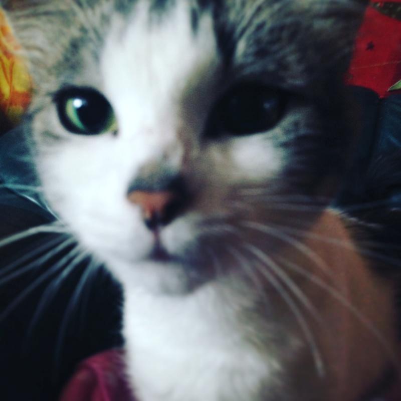 HARIETTE, chatte européenne, poils mi-longs, tabby grise&blanche, née en 2012 Img_1110