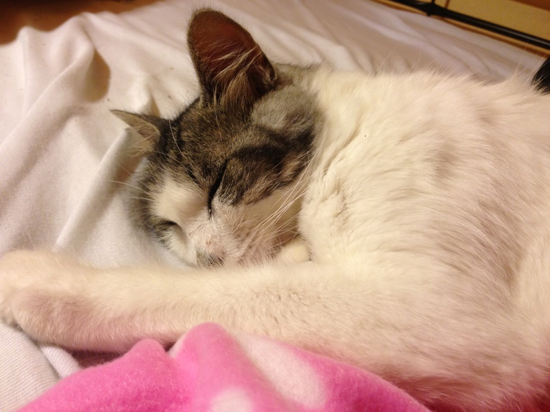 HARIETTE, chatte européenne, poils mi-longs, tabby grise&blanche, née en 2012 Img_1111
