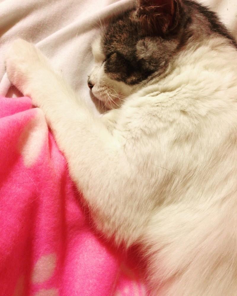 HARIETTE, chatte européenne, poils mi-longs, tabby grise&blanche, née en 2012 Img_1112