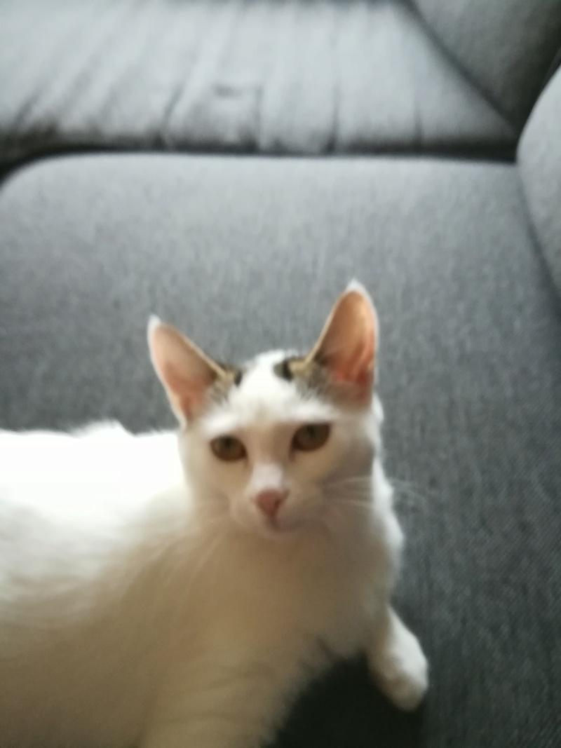 nana - NANA, chatonne, type européen,  blanche et tigrée née le 15/04/17 Img_2019