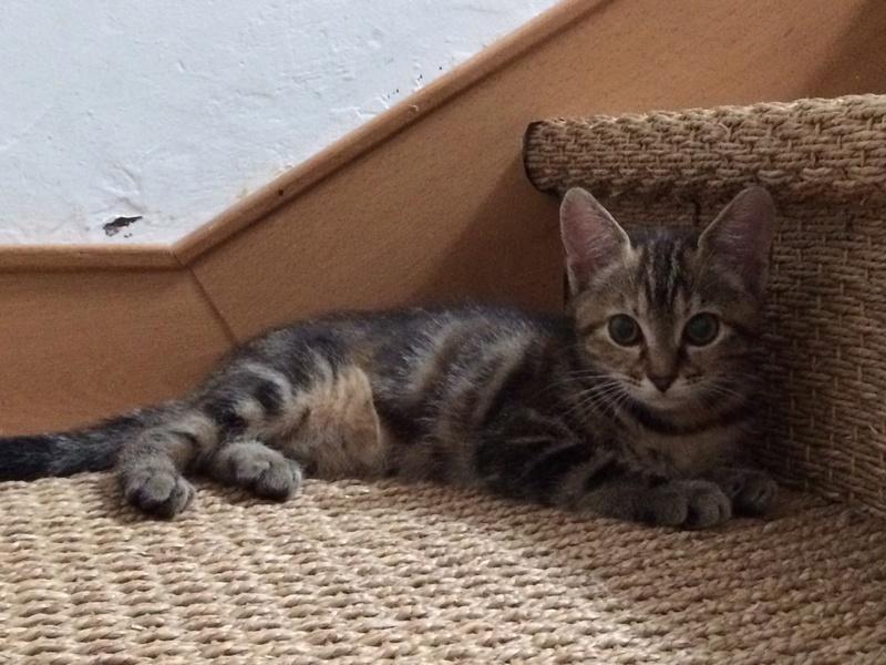Nina chatonne néé le 2 avril 2017 Tigrée Grise  Img_3711