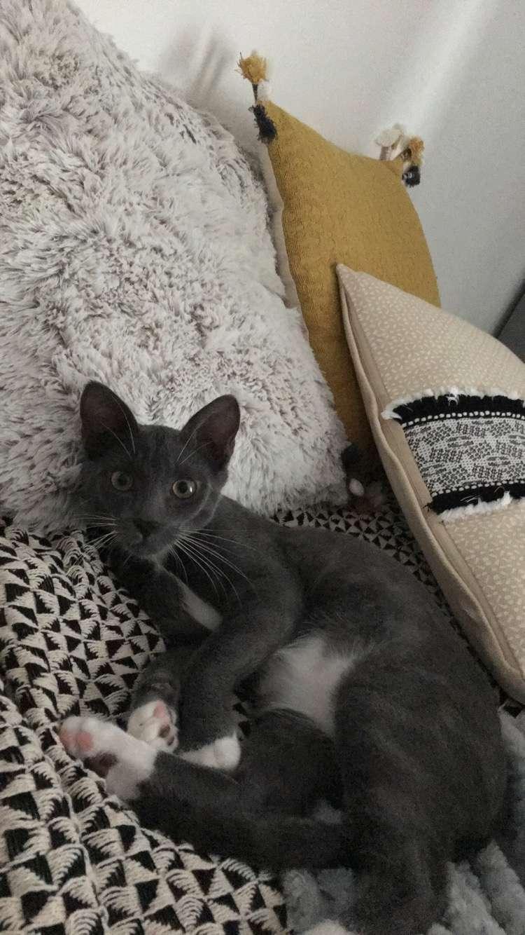 nestor - NESTOR, chaton mâle gris et blanc, né début Mai 2017 Img_4612