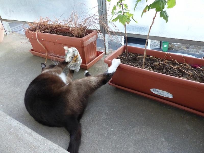 FLORETTE, chat de maison couleur chocolat,  née le 19 avril 2010. R_juil10
