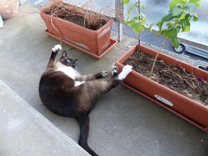 FLORETTE, chat de maison couleur chocolat,  née le 19 avril 2010. R_juil11