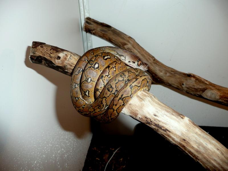 Malayopython reticulatus KALAOTOA Island  310